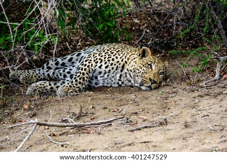 chilled out male leopard