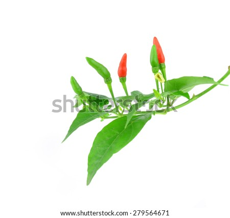 chilli on tree on white background - stock photo