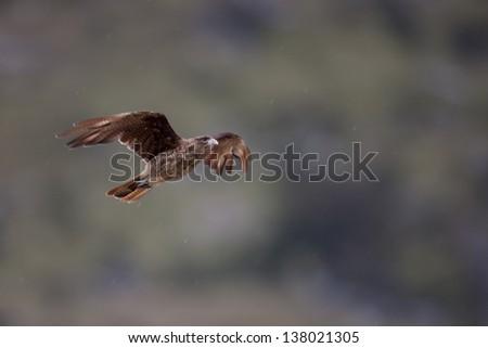Chimango Caracara (Milvago chimango temucoensis) in flight in Ushuaia, Tierra Del Fuego, Argentina - stock photo