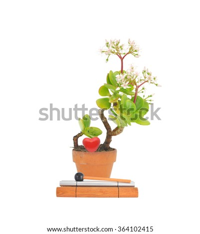 Chime in front of Potted succulent flower jade plant also called money tree, lucky plant, dollar plant, friendship tree with red heart isolated on white background - stock photo