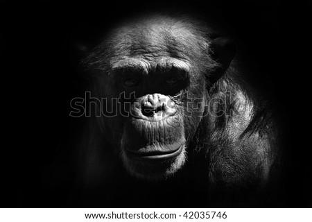 chimp - stock photo