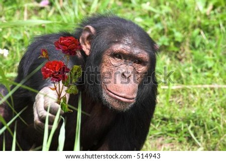 Chimp holding out flower - stock photo