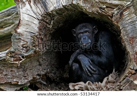 chimp in a hollow tree - stock photo