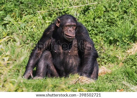 Chimp.making a funny face. A chimpanzee makes a strange facial expression as it sits surrounded by greenery. - stock photo