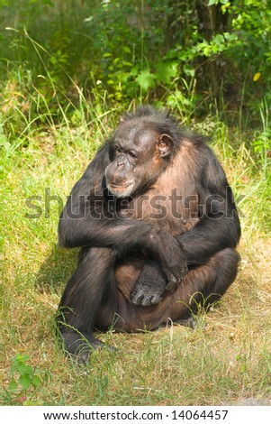 Chimp sitting on grass - stock photo