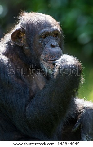 Chimpanzee against a background of dark foliage/Chimpanzee/Chimpanzee - stock photo