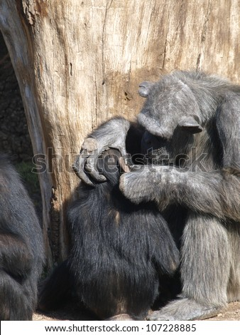 Chimpanzee � Ape. Mother chimpanzee grooming  her baby. - stock photo