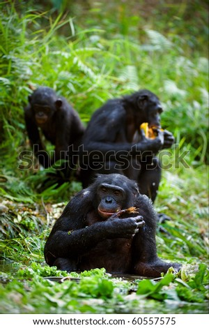 Chimpanzee Bonobo. Chimpanzees sit on a green lawn at a pond and eat. - stock photo