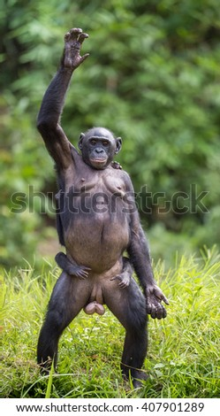 Chimpanzee Bonobo mother with child standing on her legs and hand up. at a short distance, close up. The Bonobo ( Pan paniscus), called the pygmy chimpanzee. Democratic Republic of Congo. Africa   - stock photo