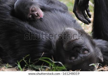 chimpanzee brest feeding - stock photo