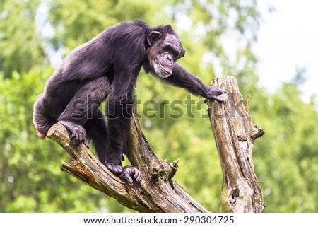 Chimpanzee climbing on a tree - stock photo