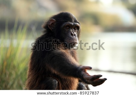 chimpanzee Closeup in the wild - stock photo