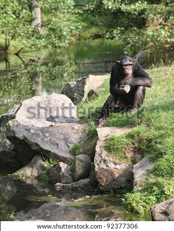 Chimpanzee contemplating deeply about life. - stock photo