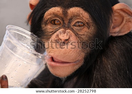 Chimpanzee drinking from a plastic cup. - stock photo