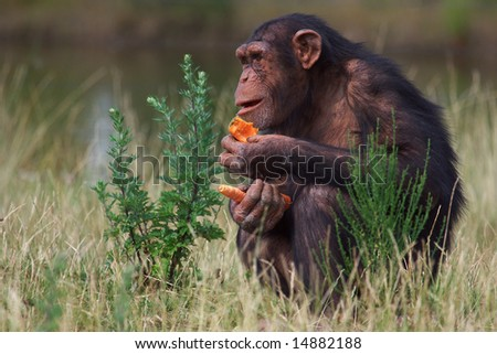 Chimpanzee eating a carrot sitting in a field of grass