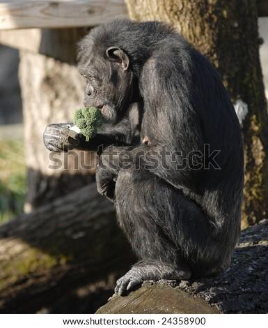 Chimpanzee eating Broccoli - stock photo