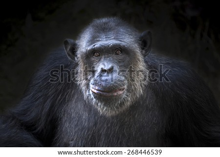Chimpanzee face - stock photo