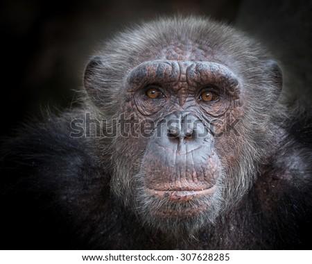 chimpanzee face. - stock photo