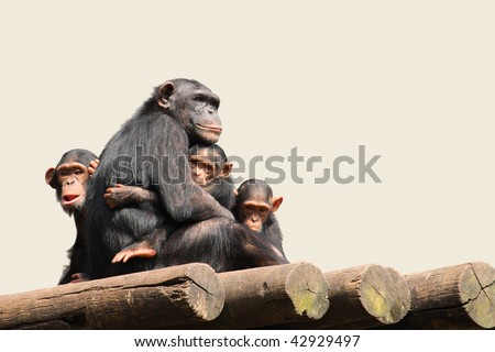 Chimpanzee Family - Mother with her infants. - stock photo