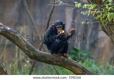 Chimpanzee feeding - stock photo