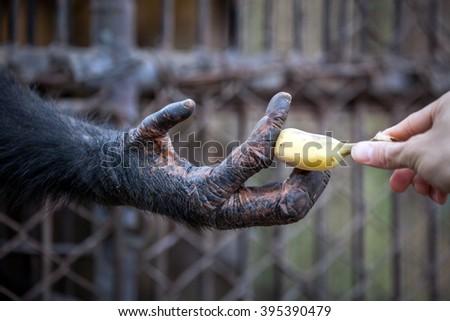 Chimpanzee hand - stock photo