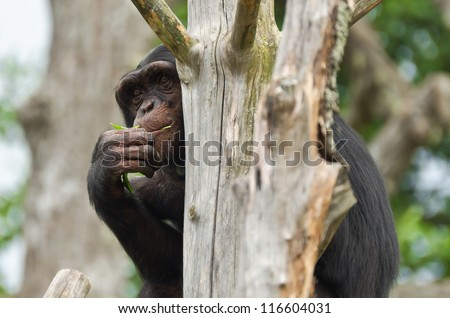 Chimpanzee hiding behind an old dead tree - stock photo