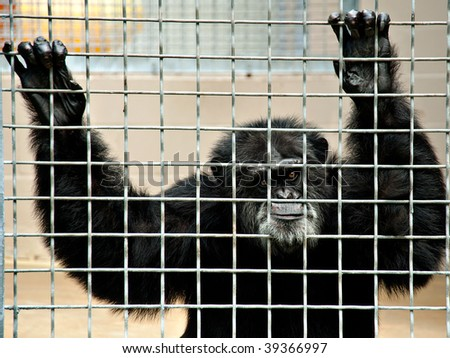 chimpanzee holding on to cage while making a funny face