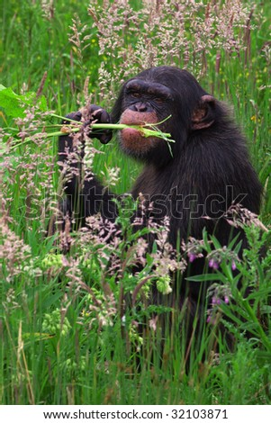 Chimpanzee in a grassy plain eating stems - stock photo