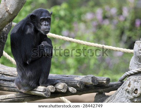 Chimpanzee in a zoo.