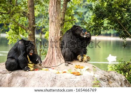 chimpanzee in  chiangmai-nightsafari chiangmai Thailand - stock photo