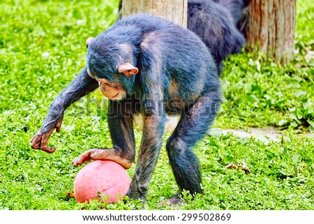 Chimpanzee in its natural habitat in the wild. - stock photo