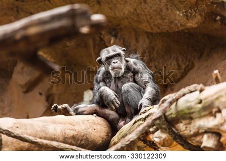 Chimpanzee in the zoo - stock photo