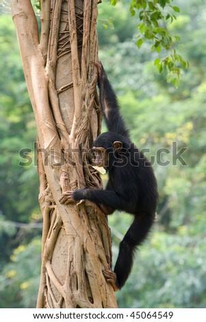 Chimpanzee is climbing up on a tree. - stock photo