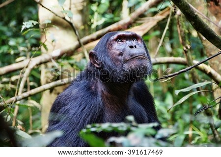 Chimpanzee looking upwards in Kibale Forest National Park, Uganda