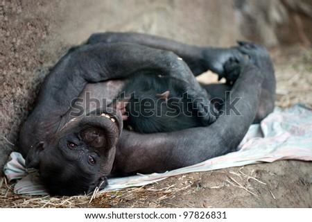Chimpanzee mother breast feeding her cub - stock photo