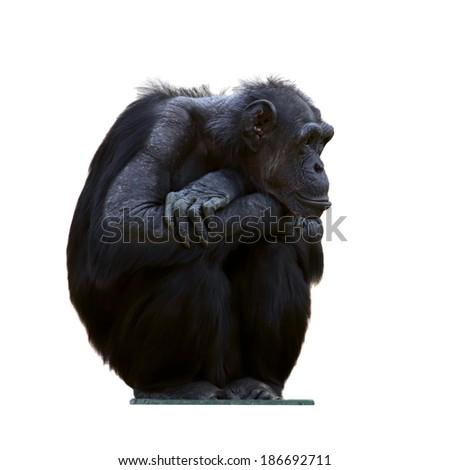 Chimpanzee on a white background  - stock photo