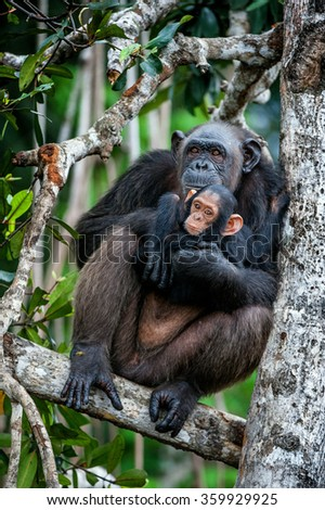 Chimpanzee (Pan troglodytes)  with a cub on mangrove branches. Mother-chimpanzee sits and holds on hands of the cub - stock photo