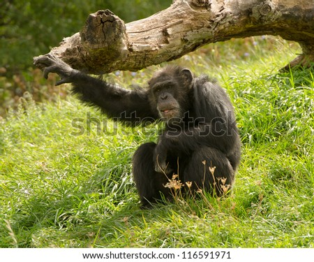 Chimpanzee pose outdoors - stock photo