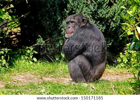 Chimpanzee Posing as Lonely - stock photo