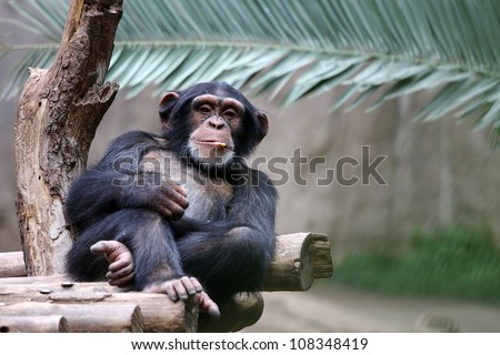 Chimpanzee relaxing on a branch - stock photo