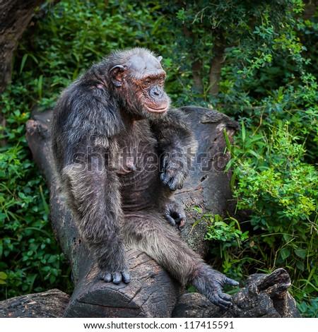 Chimpanzee Sanctuary - stock photo