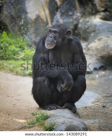 Chimpanzee seated on a rock, contemplating - stock photo