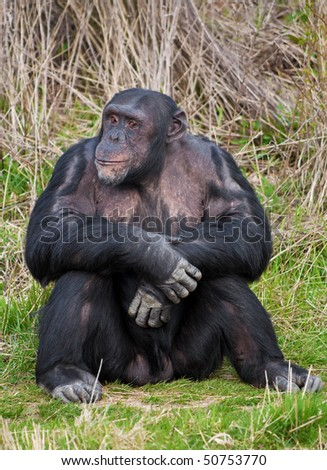 Chimpanzee sitting in a human position in the grass - stock photo