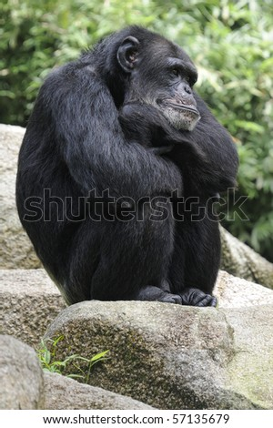 Chimpanzee sitting on a rock. - stock photo