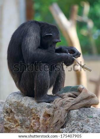 chimpanzee sitting on a rock at the zoo