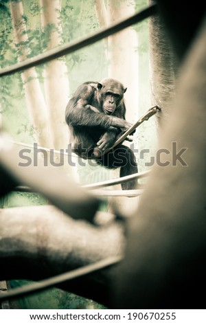 Chimpanzee Sitting on  Branch - stock photo
