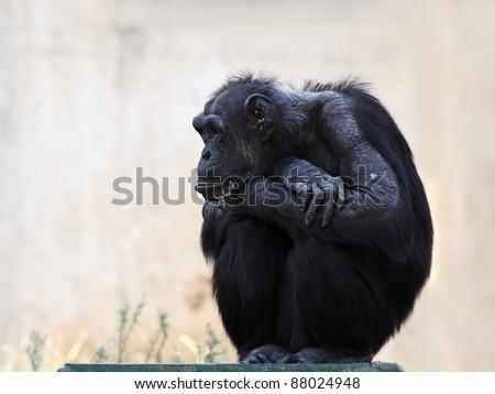 Chimpanzee sitting on the  flooring - stock photo