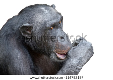 Chimpanzee sucking his thumb isolated over white background - stock photo