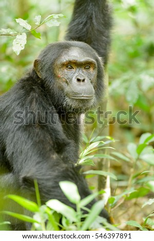 Chimpanzee - Whats Over There