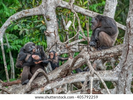 Chimpanzee with a cub on mangrove branches. Mother-chimpanzee sits and holds on hands of the kid. Chimpanzees (sometimes called chimps)  (Pan troglodytes) - stock photo